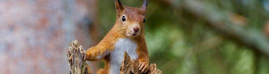 squirrel-540 x 150
